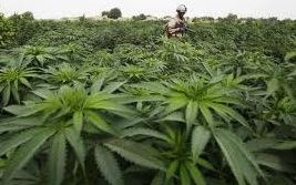 Medical marijuana information